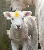 Yellow Mark Lamb — Stock Photo