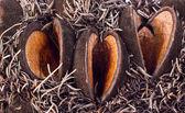 Gümüş banksia tohumlar açık — Stok fotoğraf