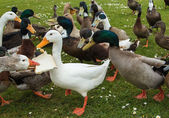 Bread Sharing Ducks — Stockfoto
