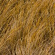Tussock Grass — Stock Photo
