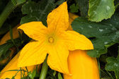 Yellow Zucchini Flower — Stock Photo