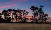 Sundown Old Pine Trees — Stock Photo