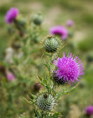 Scotch Thistle Flower Heads — Стоковое фото