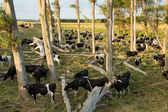 Cows Under Trees — Stock Photo