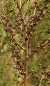 Manuka Tea Tree — Stock Photo