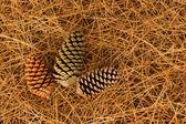 Pine Cones Needles — Stock Photo