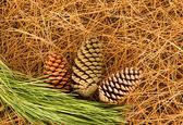 Natural Color Pine Cones — Stock Photo