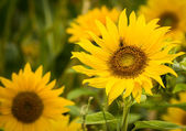 Sun flower arı — Stok fotoğraf