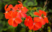 Яркий оранжевый герани — Стоковое фото