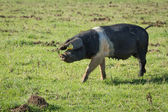 Sow Pig — Stock Photo