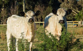 British White Cattle — Stock fotografie