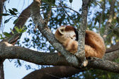Sleeping Red Panda — Stock Photo