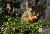 Squirrel Monkey Feeding — Stockfoto
