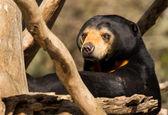 Sun Bear Looking — Stockfoto