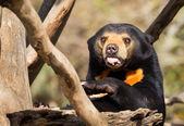Sun Bear Tongue — Stockfoto