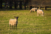 Black Face Sheep — Stock Photo