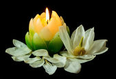 Magnolia Candlelight — Stock Photo