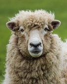 New Zealand Ewe Sheep — Stock Photo