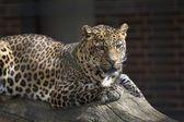 леопард — Стоковое фото