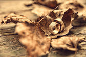 Wedding rings on autumn leaves — Stock Photo