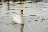 White Swan on water — Stock Photo