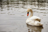 White Swan with curved neck — Stock Photo