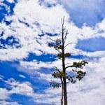 Постер, плакат: Survivor Limber Pine Pinus flexilis