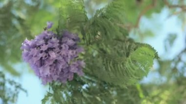 Bee on blue-violet jacaranda flowers — Stock Video