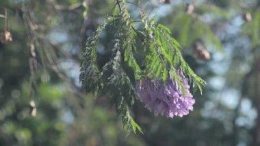Blue Jacaranda (Jacaranda mimosifolia) — Stock Video