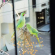 Stock Video: Parakeet сourtship