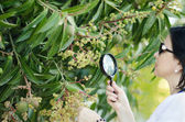 Botanist checking the growth of mango flowers — Stock Photo