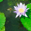 Lotus in ponds on the park. — Stock Photo