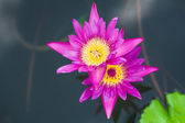 Pink twin lotus flower blossom in water — Stock Photo