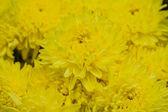 Schöne blumen der gelbe chrysanthemen — Stockfoto