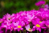 Bouquet of beautiful chrysanthemums — Stock Photo