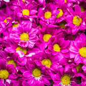 Close up of Beautiful flowers pink chrysanthemums — Stock Photo