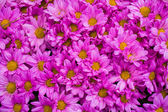 Close up of Pink chrysanthemums, background — Stock Photo