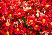 Red chrysanthemums close up for background — Stock Photo