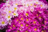 Фиолетово Белые хризантемы — Стоковое фото
