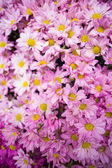 Colorful pink autumnal chrysanthemum background — Stock Photo