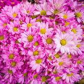 Bouquet of pink autumn chrysanthemum — Stock Photo