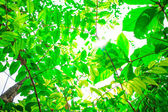 Green leaves in forest — Stock Photo