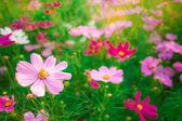 Beautiful Cosmos flowers on sky background — Stock Photo