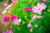 розовый космос цветок семейной сложноцветных — Стоковое фото