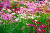 Beautiful Cosmos flower field — Stock Photo