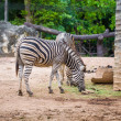 Zebra herbivorous mammal of the African savannah — Stock Photo
