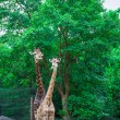 Stock Photo: Giraffe in wild