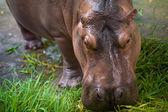 Hippopotamus eating green grass — Stock Photo