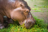 Hippopotamus eating green grass from feeder — Stock Photo