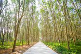 Rij van para rubberboom — Stockfoto